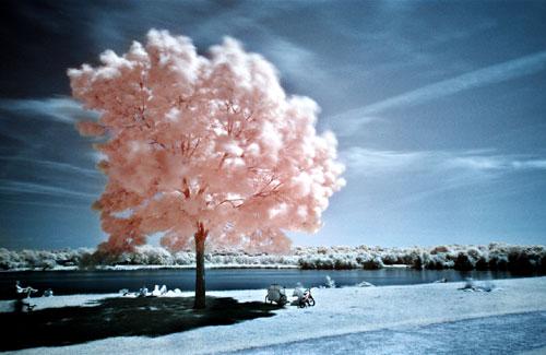 cotton-candy-tree
