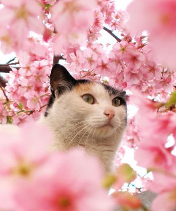 350px-Cat-among-the-cherry-blossoms-3-4948